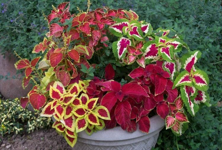 planta Coleus