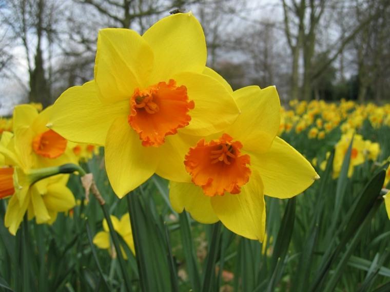 narcisos amarillos centro color naranja