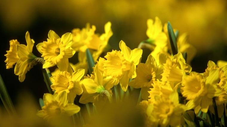 narcisos amarillos original fotografía