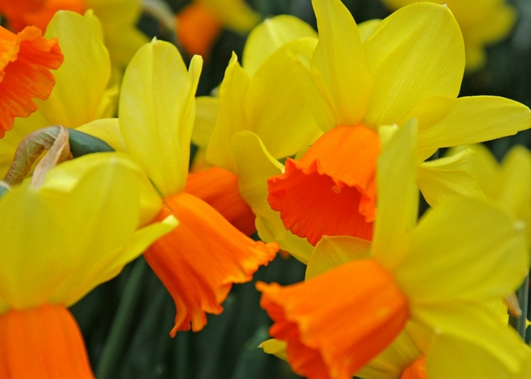 bonitas flores narciso amarillo