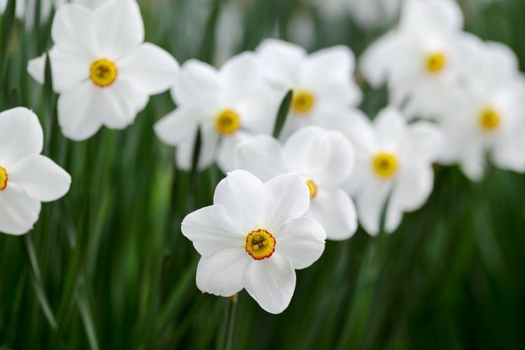 narcisos blancos bonita foto campo