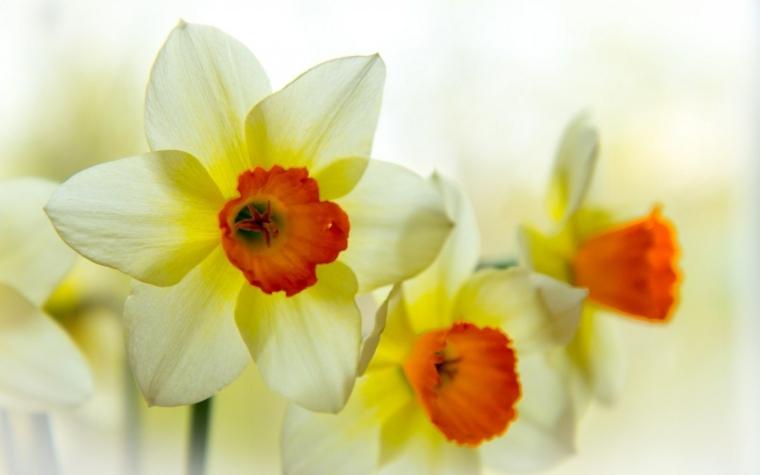 narcisos blancos centro color naranja