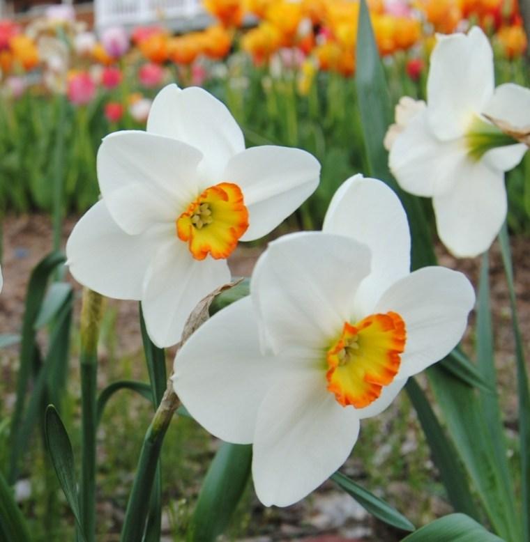 narciso blanco naranja centro campo