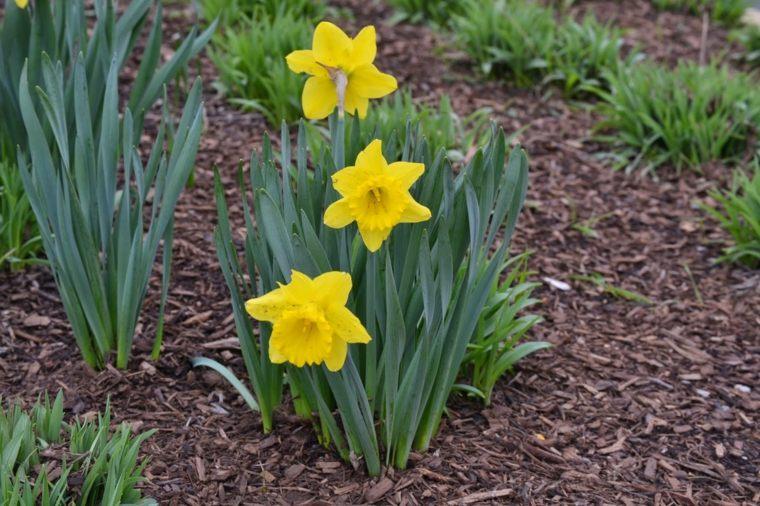 narciso amarillo plantados tirrra