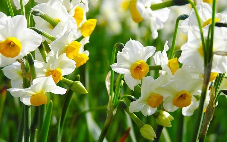 white daffodil yellow center