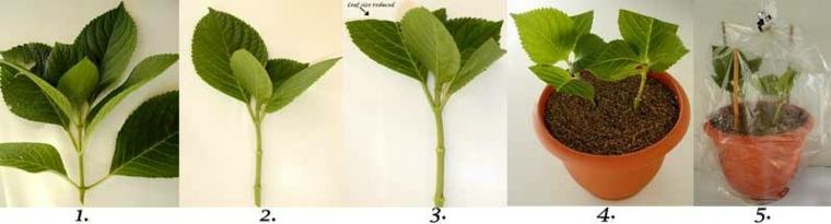 hortensia tallo plantar macerta