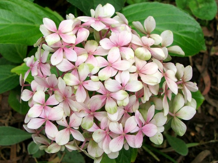 hortensia blanca rosa claro