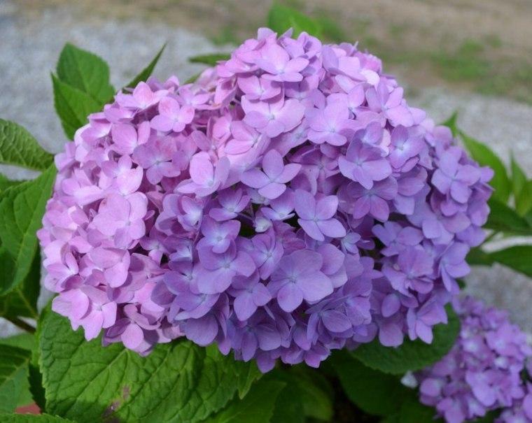 hortensia bonita color lila