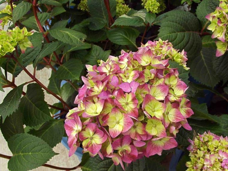 hortensia color amarillo rosado
