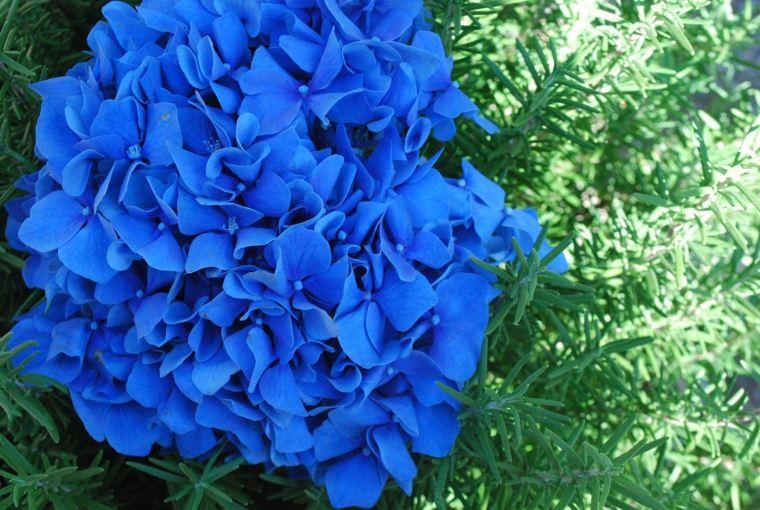Hortensias Pasos Y Consejos Practicos Para Su Cuidado - Color-hortensia