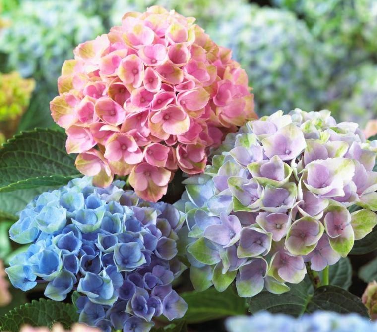 hortensia colores originales estupendos