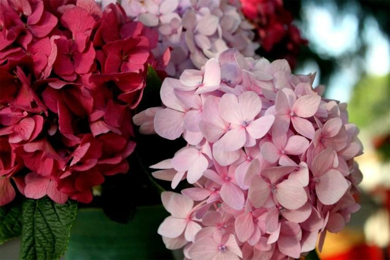 hortensia flor tonalidades rosa