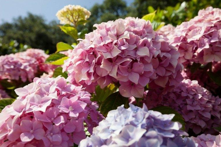 hortensias arbusto color rosa