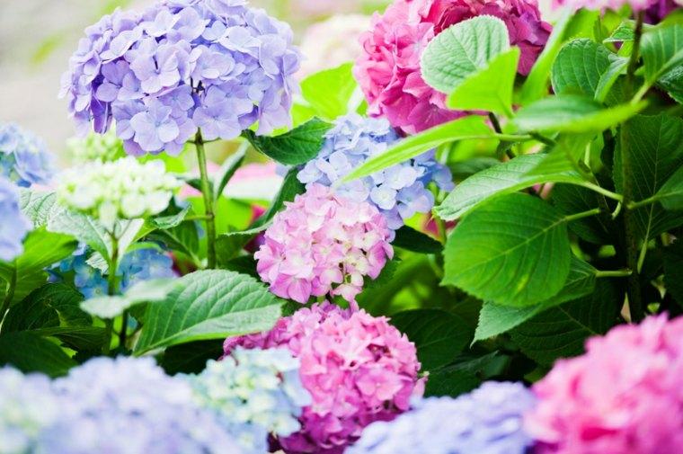 hortensia colores bonitos brillantes