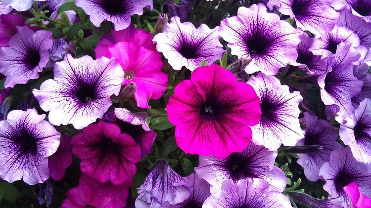 petunias estilos mezclas color soluciones