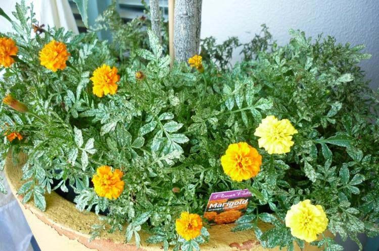 plantas de exterior amarillas calendula