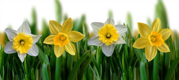 variacion flores narciso amarillos blancos