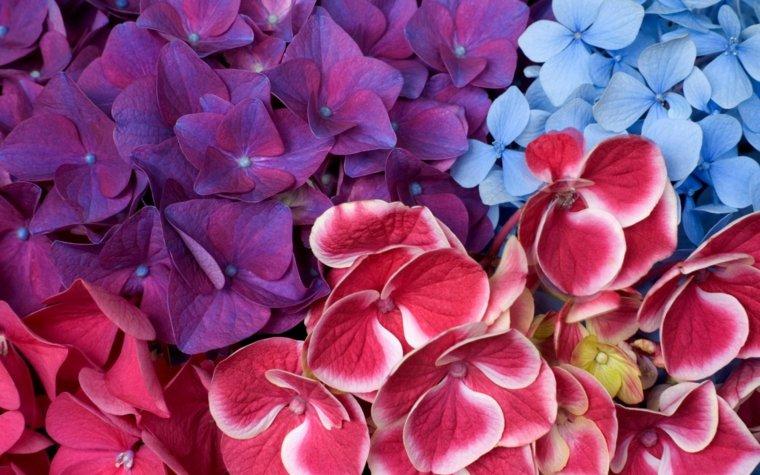 flores de hortensia colores vibrantes