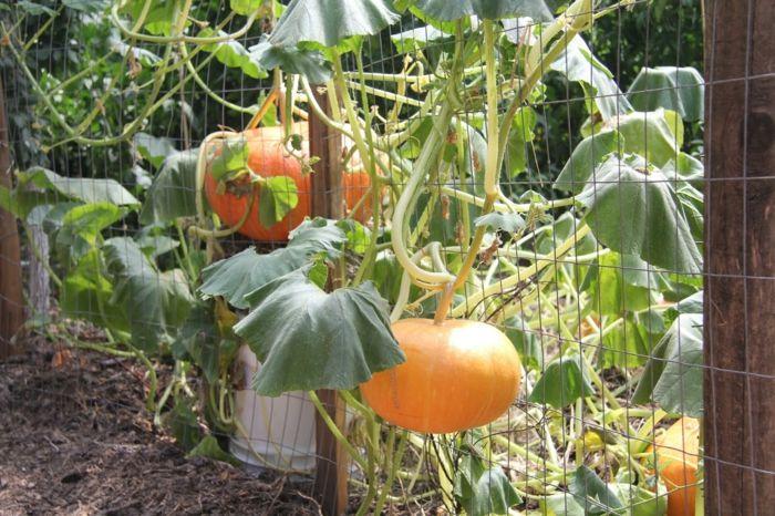 calabazas detalles plantas suelos frutos casas