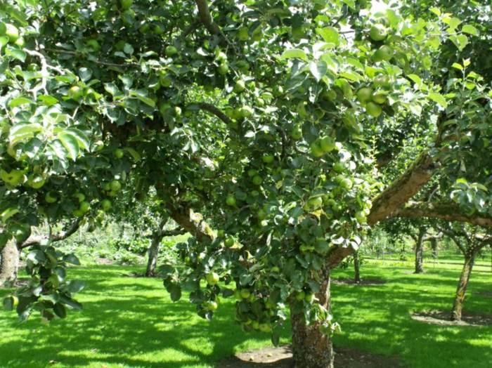 huerto en casa diseños manzanas frutales