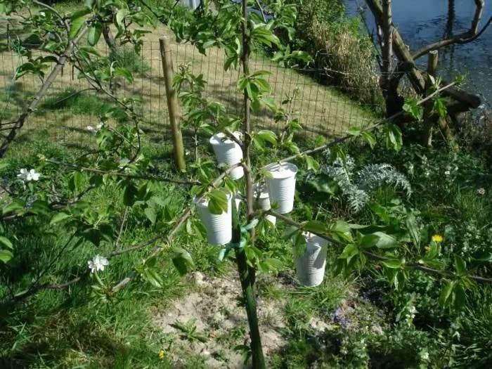 manzanas arboles detalles cuidados vasos