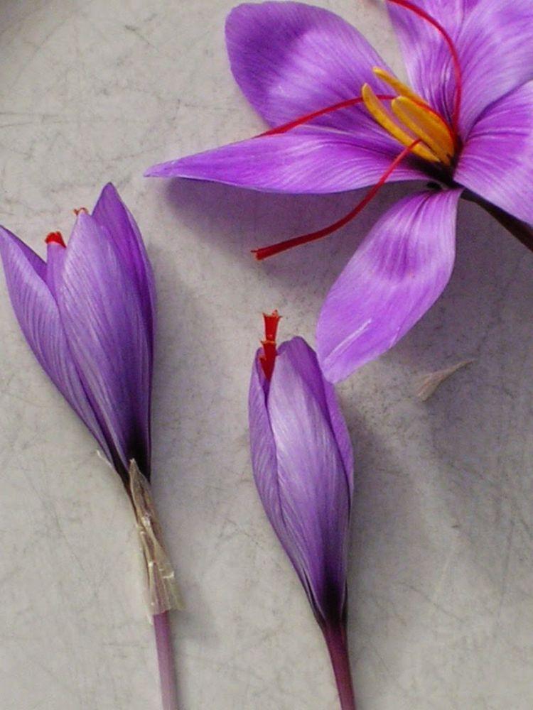 azafran abiertos cerrados flores