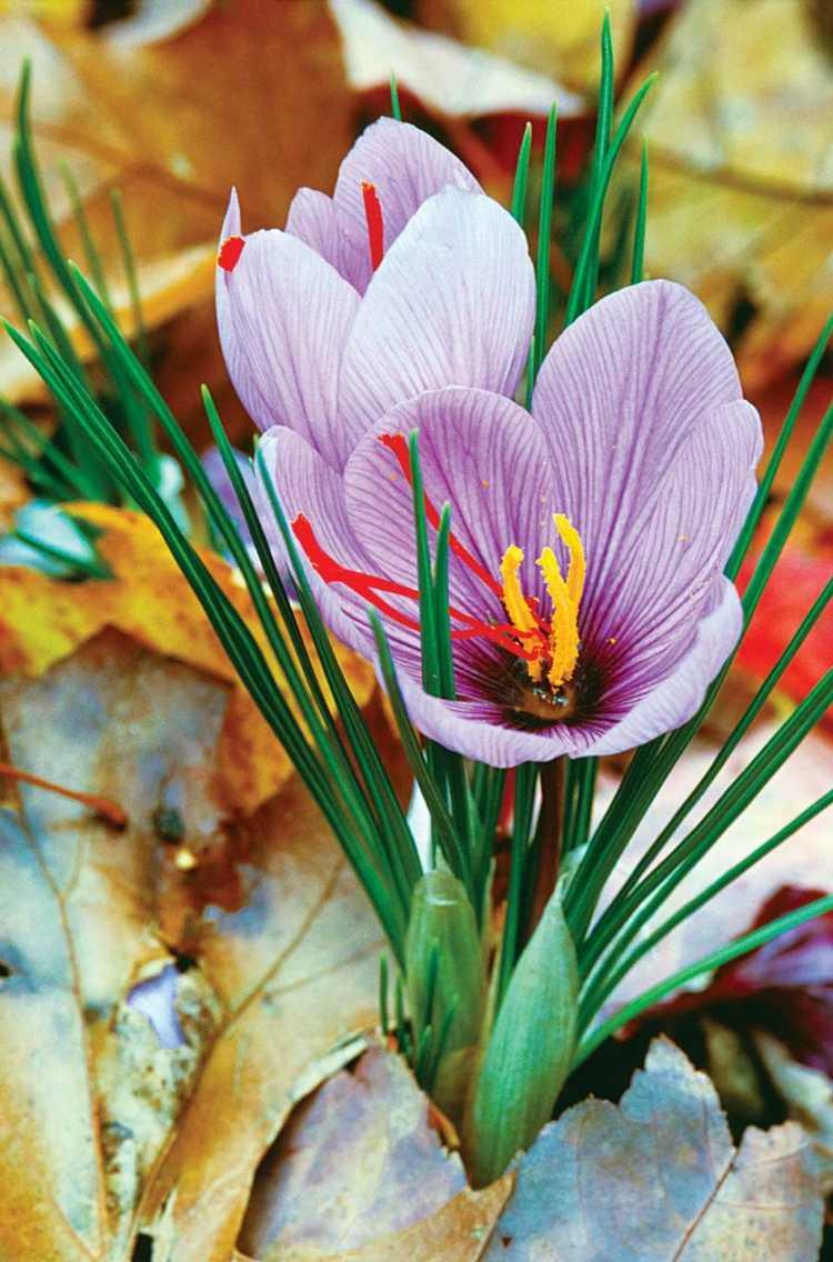 bonita flor foto azafrán