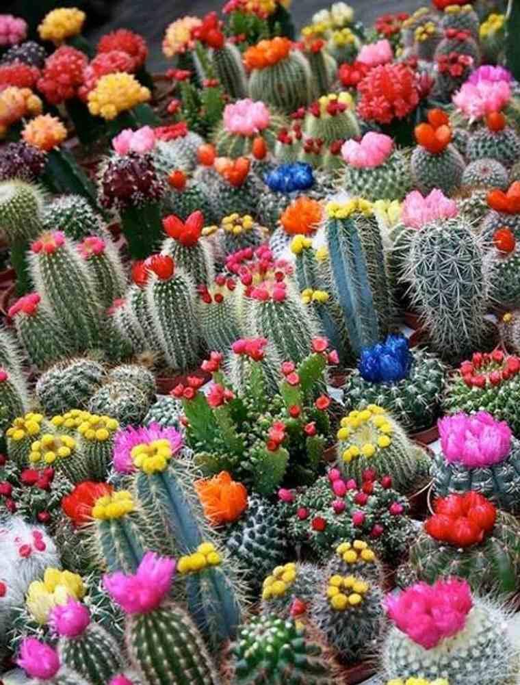 bonita seleccion cactus muchos colores