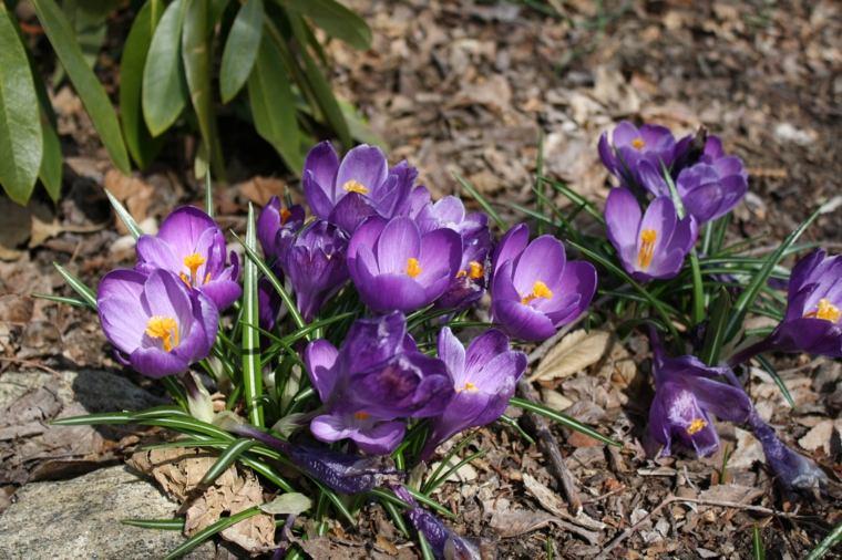 bonitas flores azafrán jardín bonito