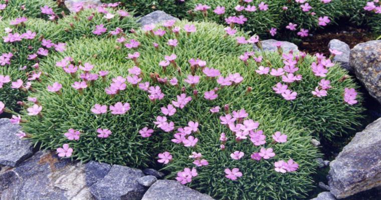 bonito alpineum decorado flores