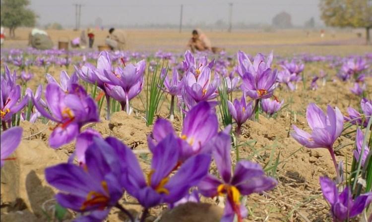 bonito campo flores azafrán