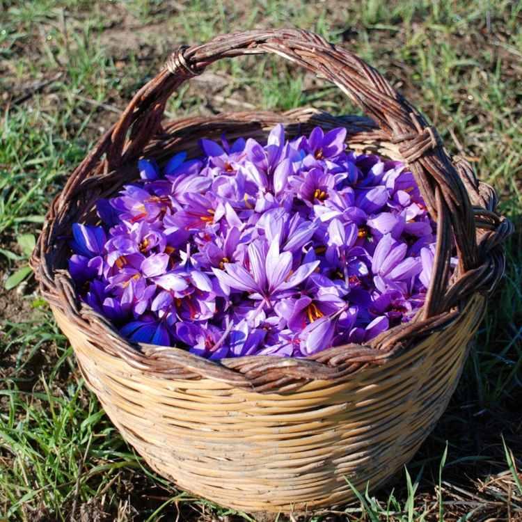 cesta llena flores azafranes