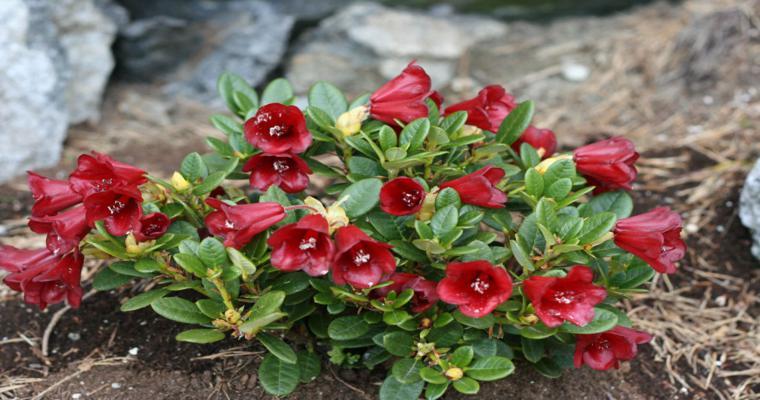 decoración rocallas flores rojas