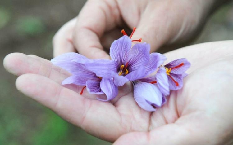 flores azafranes en mano