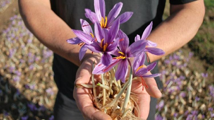 flores azafranes imagen plantas ramo