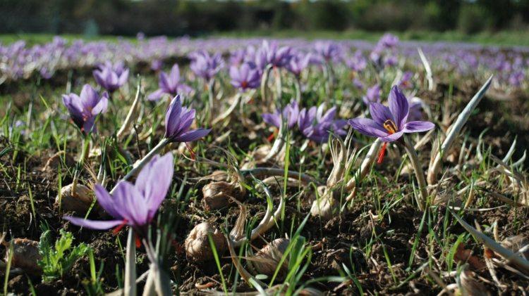 flores campo silvestres muchas azafran