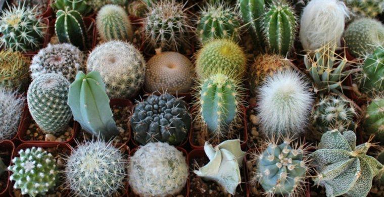 Jardin de cactus cuarenta y nueve ideas de c mo elaborar for Clases de cactus