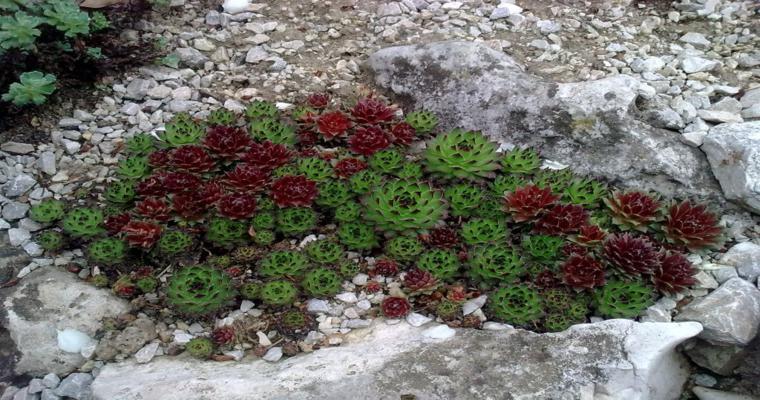 plantas suculentas crecen rocas