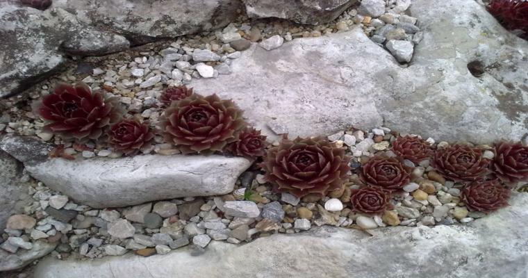 rocalla jardín plantas suculentas