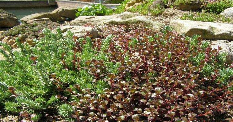 plantas arbustos decorativos rocallas