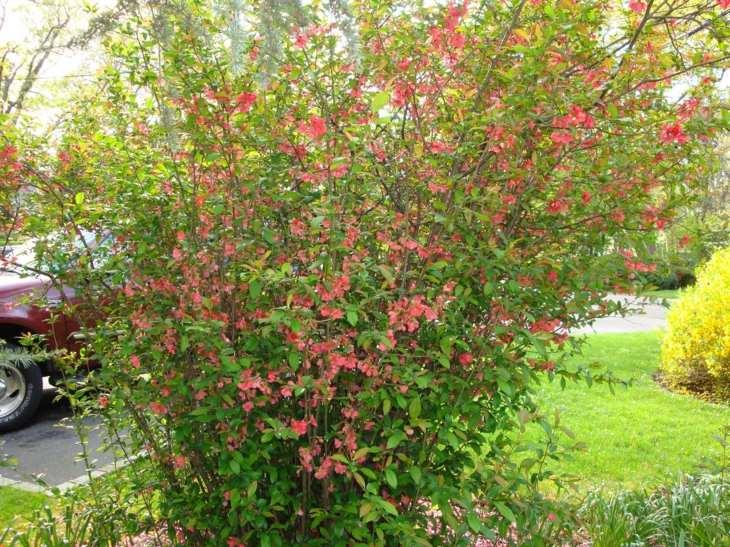 Jardines arbustos para llenarlos de belleza y color for Arbustos con flores