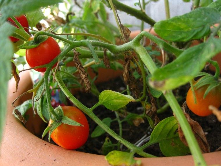 huerto casero tomates pequeños