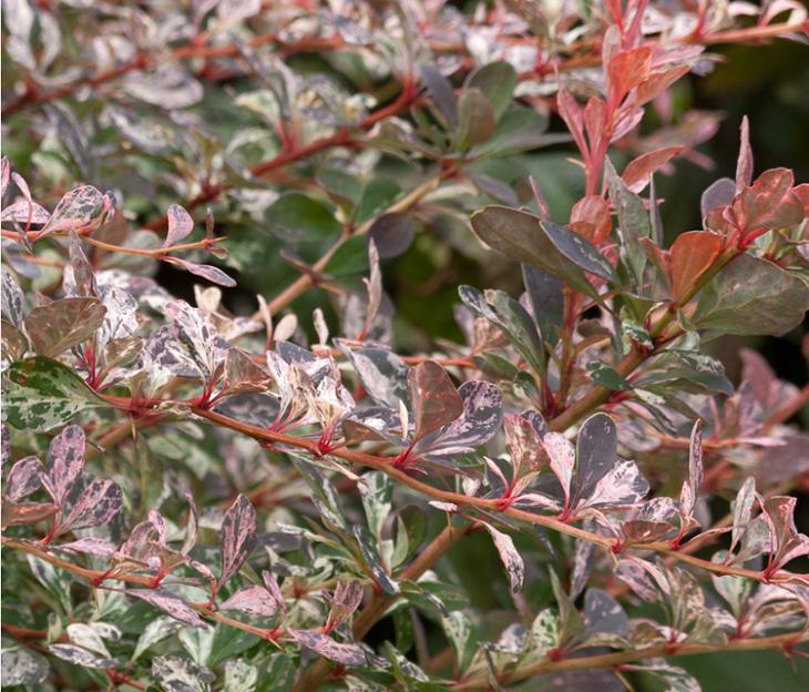 Jardines arbustos para llenarlos de belleza y color for Jardines con arboles y arbustos