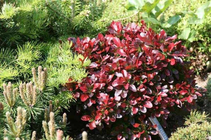 Jardines arbustos para llenarlos de belleza y color for Arbustos de hoja perenne para jardin