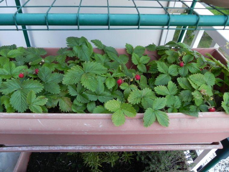 plantar frambuesas terraza balcón
