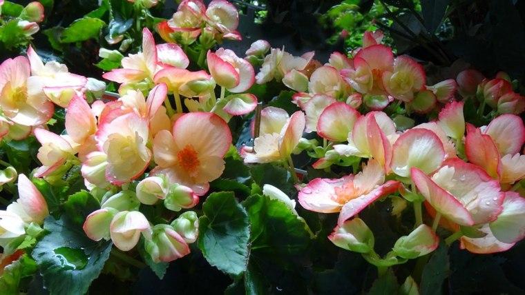 plantas-de-jardin-begonia-blancas