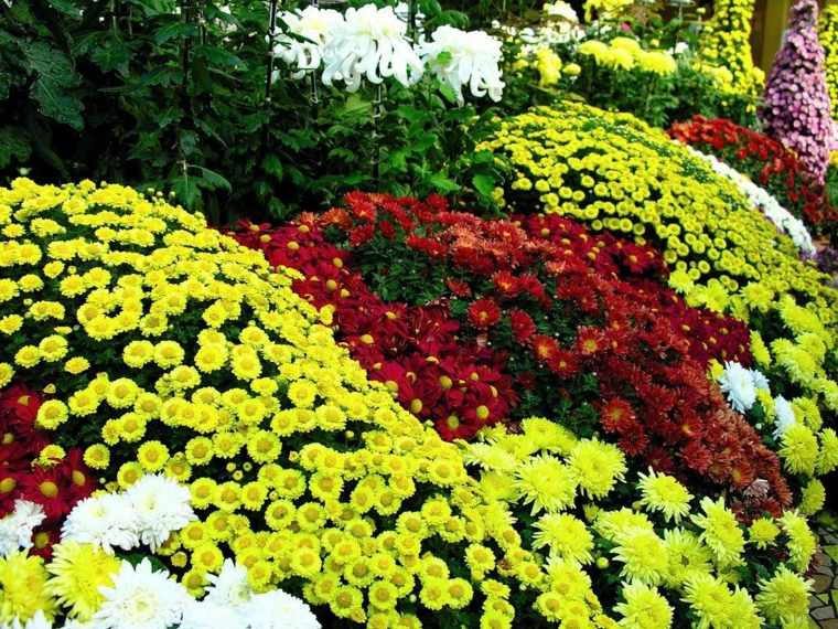 plantas de jardin crisantemos distintos colores ideas
