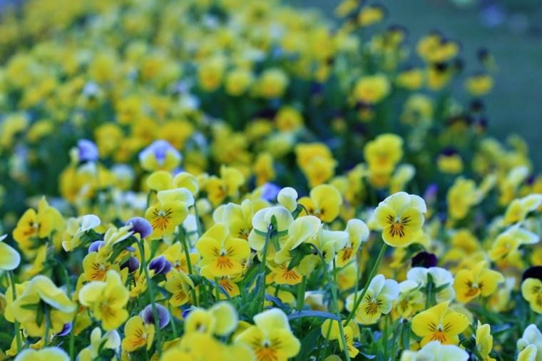 plantas de jardin violetas amarillas ideas