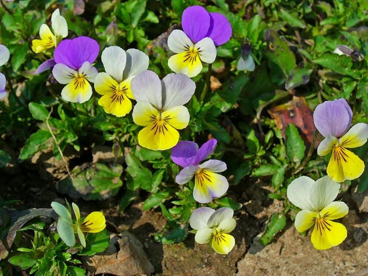 plantas de jardin violetas tres colores ideas