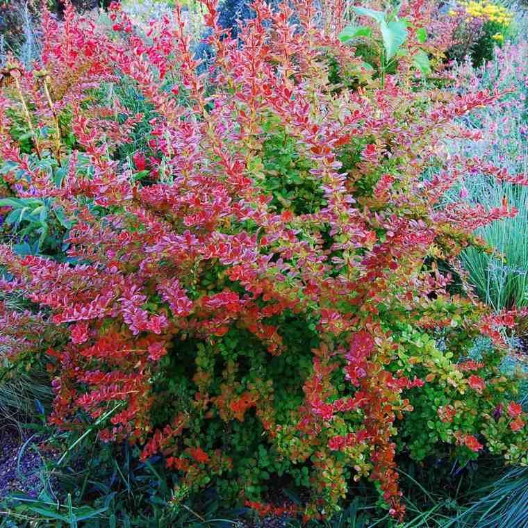 plantas jardin berberis dos colores ideas